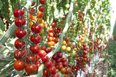 Cherry_Vine.jpg